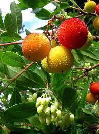 Κούμαρο, ένα άγριο φρούτο της Ελληνικής χλωρίδας με ιαματικές ιδιότητες.