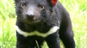 Zoo-Daimonas-tis-Tasmanias