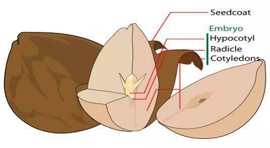 Γιατί να ΜΗΝ πετάτε το κουκούτσι του αβοκάντο – Δείτε τι κάνει! [vid]
